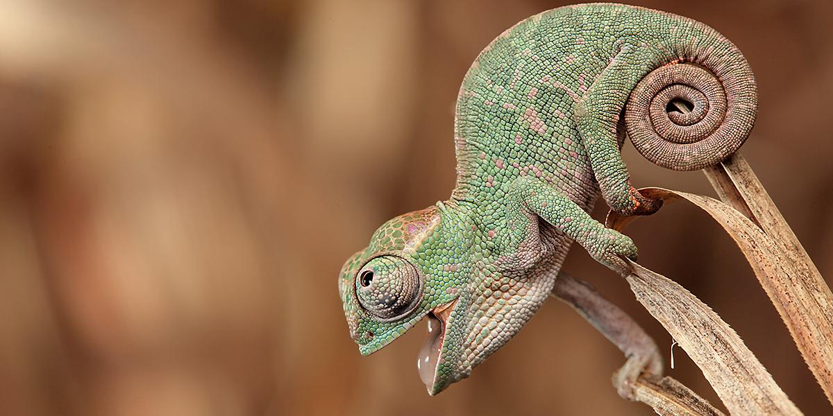 Animals-Chameleons-l