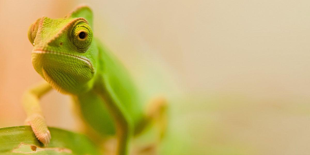 Chameleons-Reptiles-l