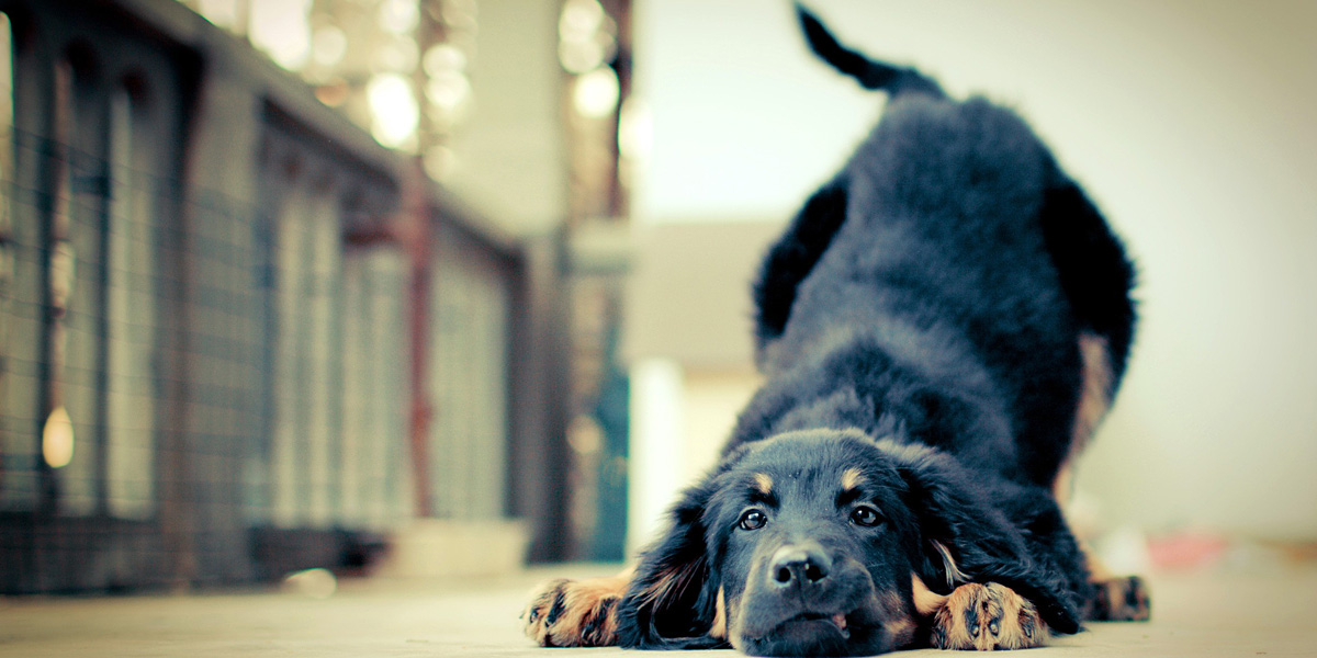Dog-Pet-l