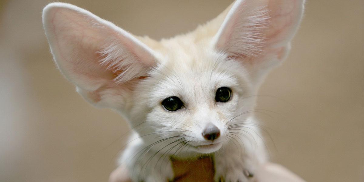 Fennec-Fox-l