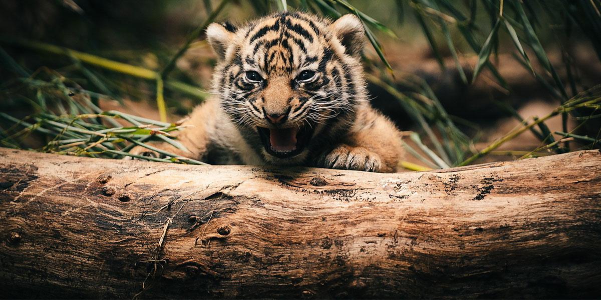 Tiger-cub-l
