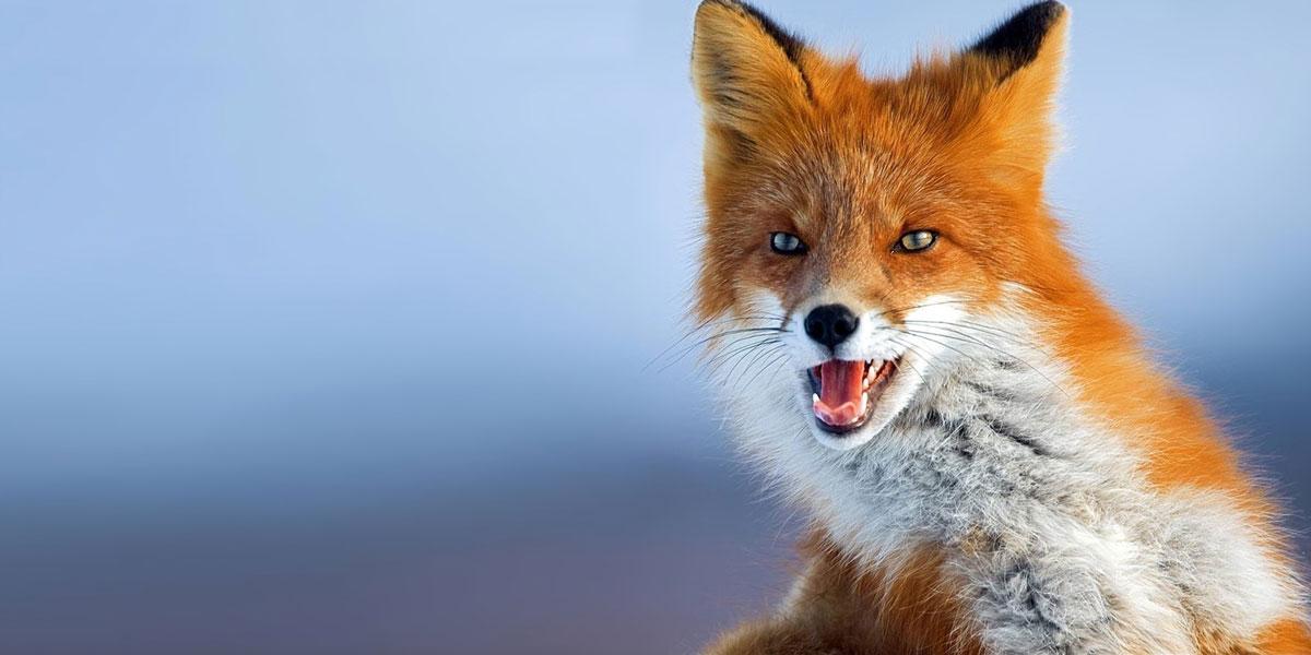 Fox-l
